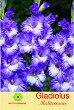 Луковици от Гладиол - Gladiolus Mediterranee - Опаковка от 3 броя -