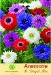 Луковици от Анемоне Brigit Mix - микс от цветове - Опаковка от 5 броя -
