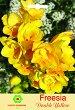Луковици от Фрезия - Double Yellow - Опаковка от 5 броя -