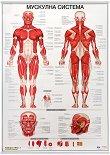 Учебно табло: Мускулна система -