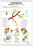 Учебно табло: Розоцветни растения -
