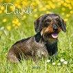 Стенен календар - Dackel 2021 -