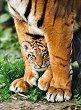 Малко тигърче -