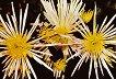 Поздравителна картичка - Хризантеми - картичка