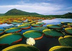 """Големи водни лилии - Колекция """"Александър Фон Хумболт"""" (Alexander von Humboldt) - пъзел"""