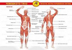 Помагалник по биология: Човешкото тяло - учебно табло -
