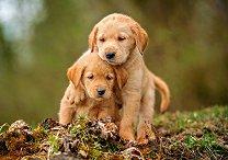 Кучешка любов - пъзел