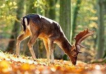 Кралят на гората - пъзел