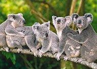 Семейство коали -