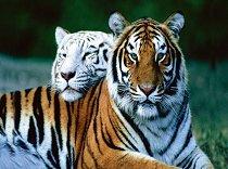 Бенгалски тигър - пъзел