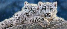 Снежен леопард - панорама - пъзел