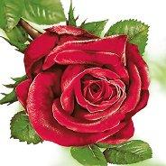 Салфетки за декупаж - Червена роза - Пакет от 20 броя