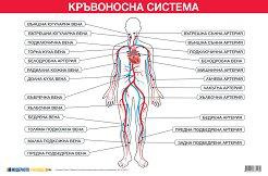 Учебно табло: Кръвоносна система -