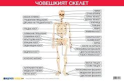 Учебно табло: Човешкият скелет -