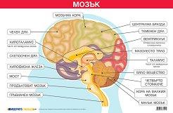 Учебно табло: Мозък -