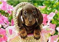 Кученце дакел в кошница -