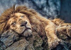 Спящ лъв - пъзел