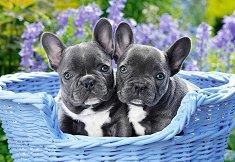 Кученца - Френски булдог - пъзел