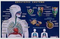 Учебно табло: Дихателна система -