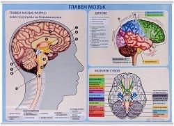 Учебно табло: Главен мозък -