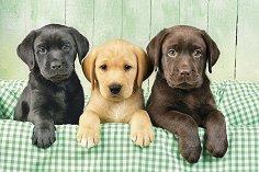 Кученца лабрадори -