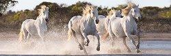 Препускащи бели коне - панорама -