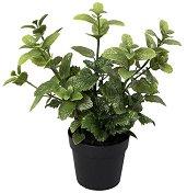 Декоративно растение - Мента