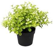 Декоративно растение - Чемшир