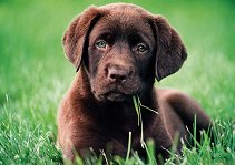 Кученце -