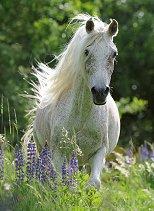 Бял кон -
