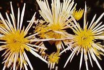 Поздравителна картичка - Хризантеми -