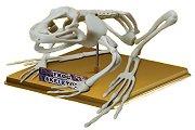 Скелет на жаба - Учебен сглобяем модел - играчка