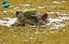 Хипопотам - Майкъл Полица (Michael Poliza) -