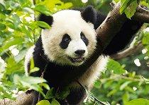 Панда - пъзел